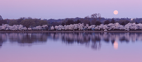 Full Moon over the Tidal Basin with Cherry Blossoms in Washington DC