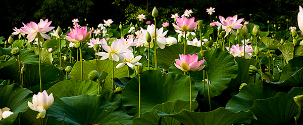 lotus blossoms at kenilworth aquatic gardens in washington dc, Beautiful flower