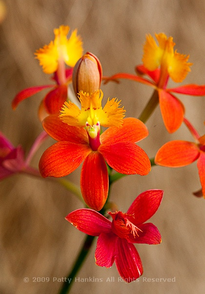 Epidendrum Orchids Beautiful Flower Pictures Blog