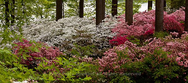 Beautiful Flower Pictures Blog – azalea garden