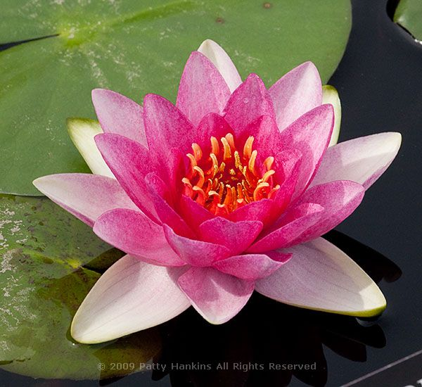 Pink water lily lilies flowers petals wallpaper | 4200x2800 ...