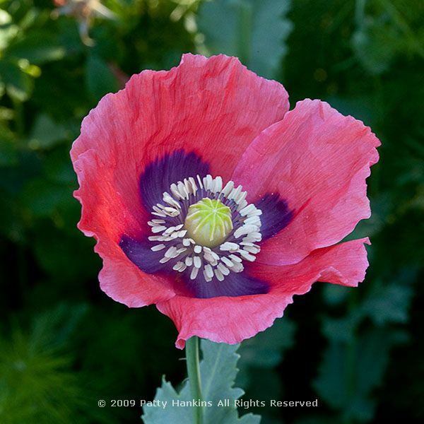 A few more poppies beautiful flower pictures blog poppybreadpapaversomniferum2711 mightylinksfo