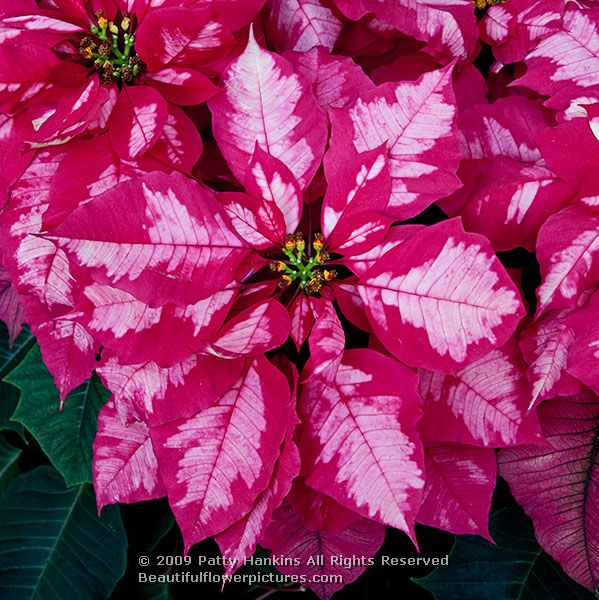 poinsettia punch recipe i m back from our christmas poinsettia punch ...