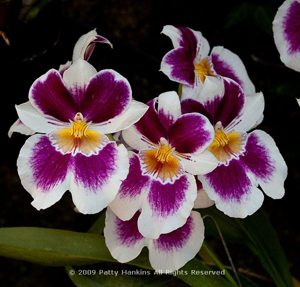 Miltonia Orchids :: Beautiful Flower Pictures Blog
