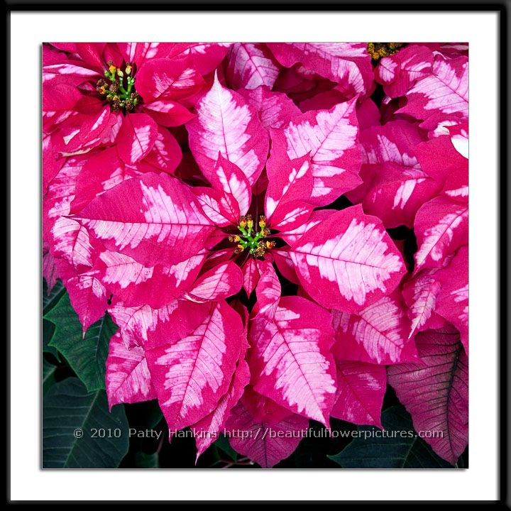 New Photo Ice Punch Poinsettia Beautiful Flower Pictures Blog
