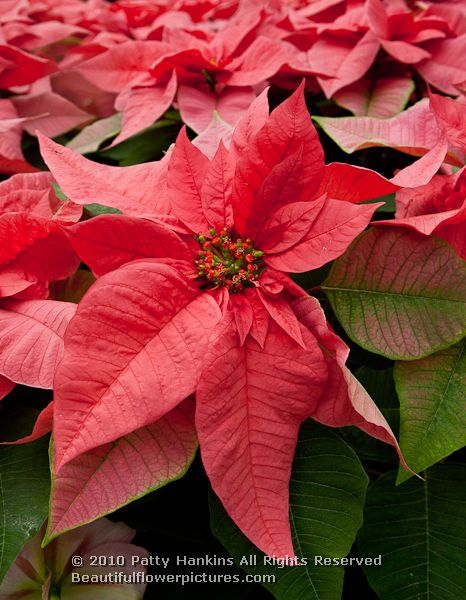 A Few More Poinsettias Beautiful Flower Pictures Blog