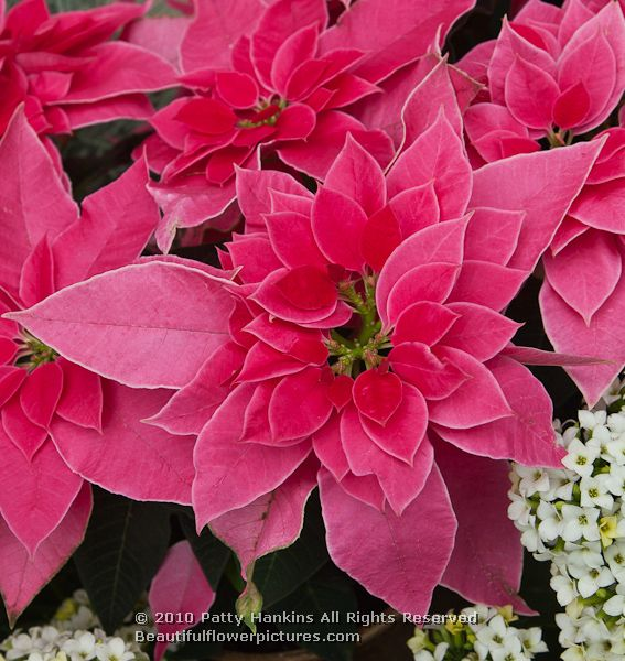 Related Keywords Amp Suggestions For Love You Pink Poinsettia