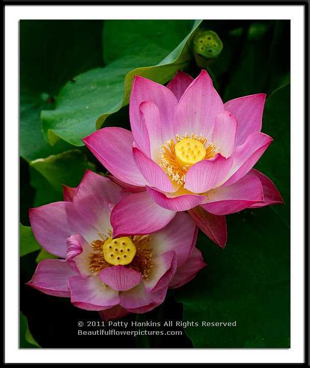 new photo  lotus blossom v  beautiful flower pictures blog, Beautiful flower