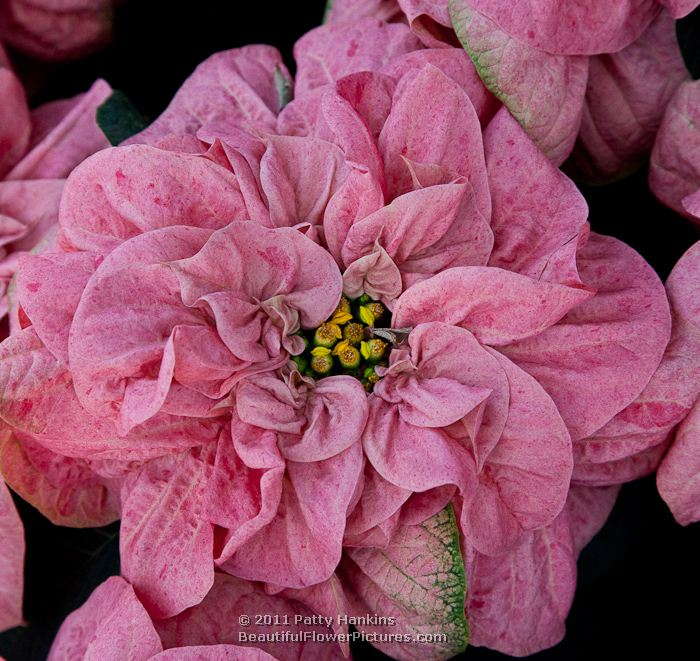 Poinsettias Pretty In Pink Beautiful Flower Pictures Blog
