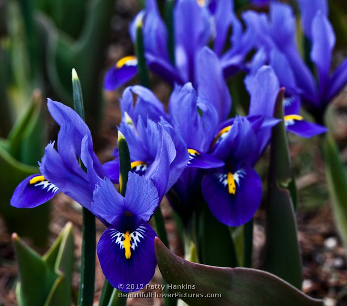 iris reticulata some lovely dwarf irises beautiful. Black Bedroom Furniture Sets. Home Design Ideas