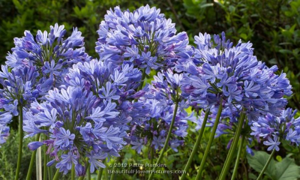 Lily Of The Nile Agapanthus Beautiful Flower Pictures Blog