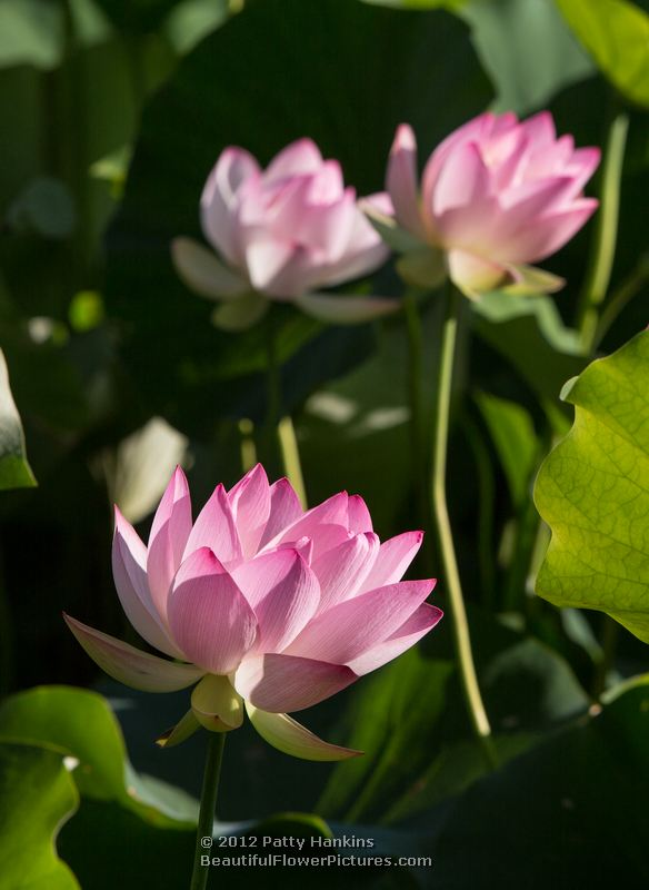 lotus blossoms  beautiful flower pictures blog, Beautiful flower