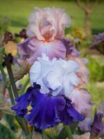 Over Alaska and Bon Appetit Bearded Irises © 2013 Patty Hankins