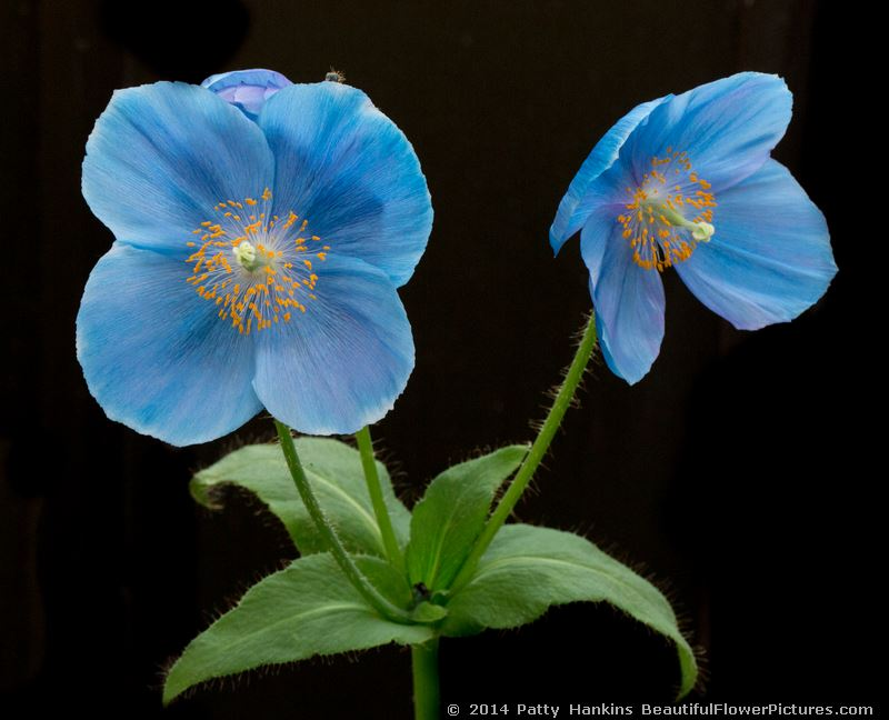 Blue poppies 2014 beautiful flower pictures blog blue poppy 2014 patty hankins mightylinksfo