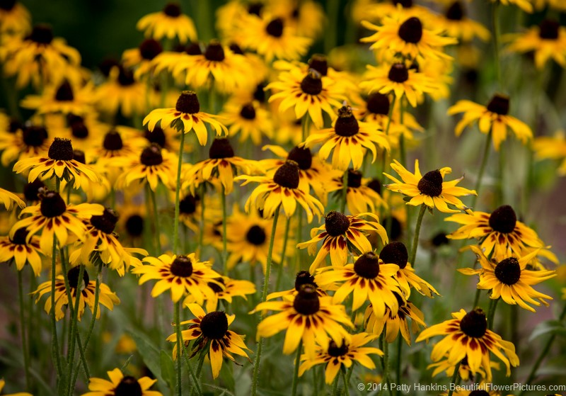 Black Eyed Susans Beautiful Flower Pictures Blog
