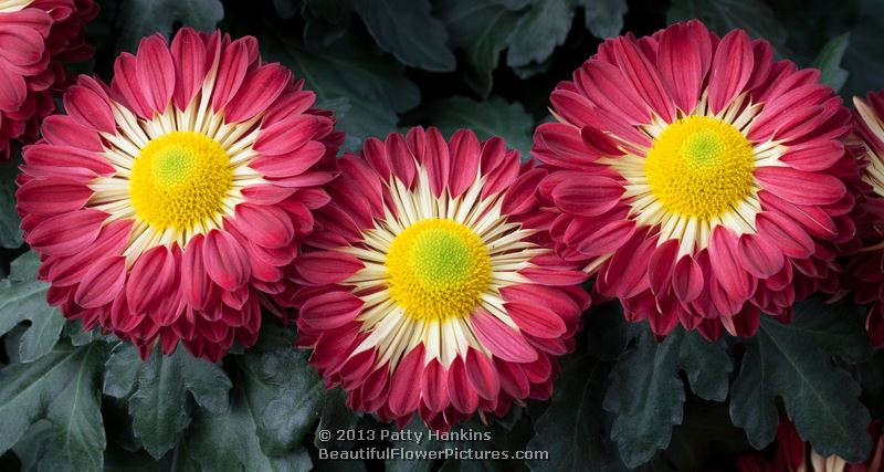 a few chrysanthemums to brighten your day beautiful
