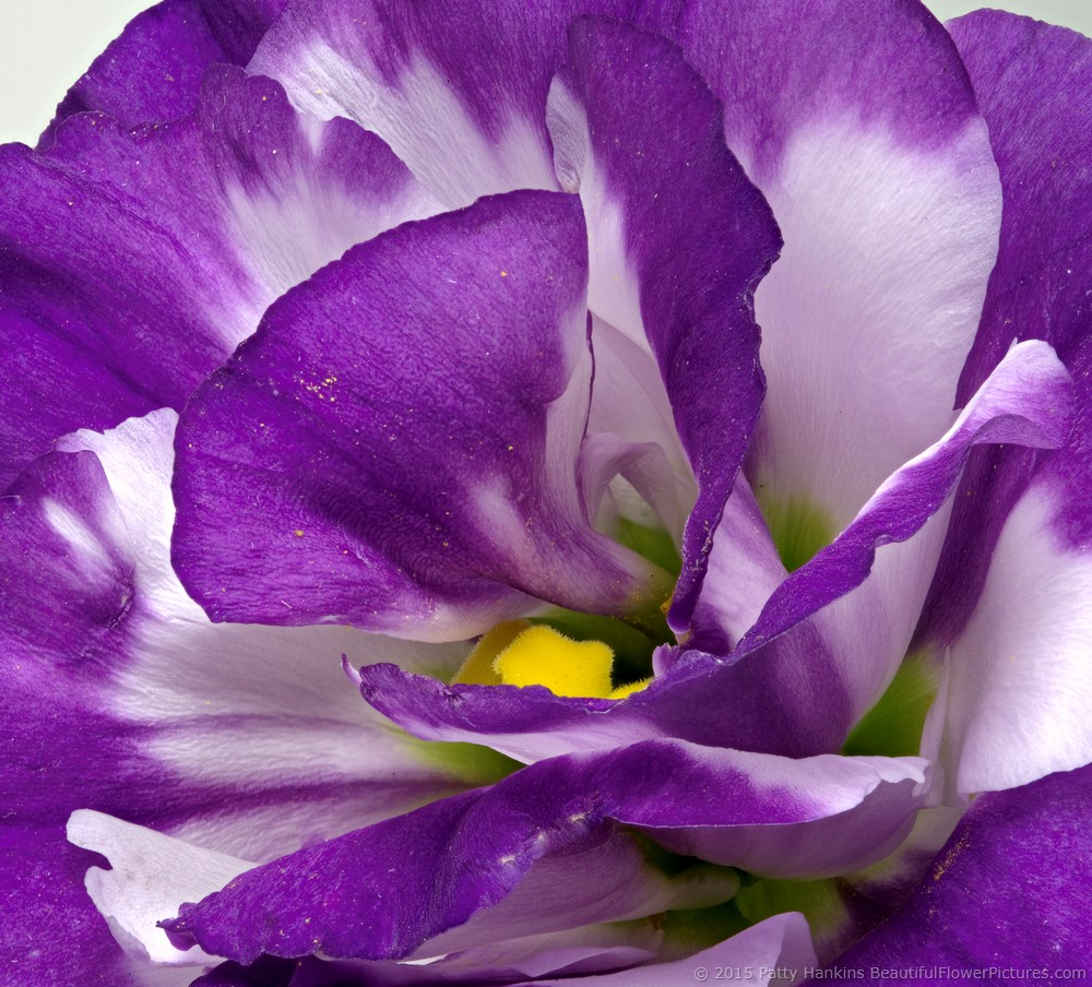 Lisianthus in the studio beautiful flower pictures blog purple white lisianthus 2015 patty hankins thecheapjerseys Choice Image