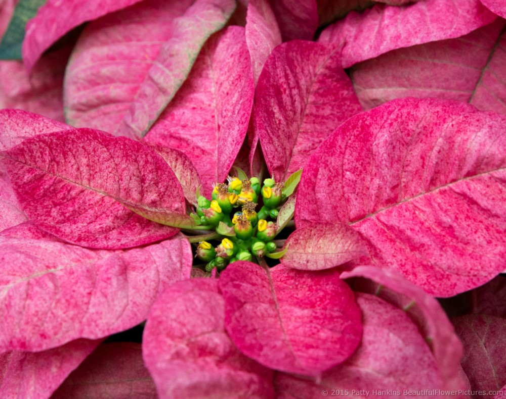 poinsettias 2015 u2013 part 2 beautiful flower pictures blog