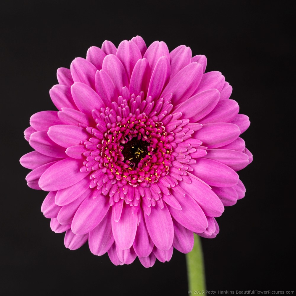 New Photo Picture Perfect Gerbera Daisy Beautiful Flower
