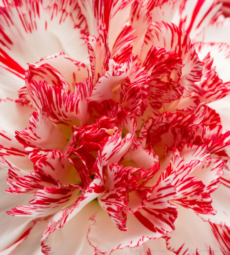 Peppermint Carnations Beautiful Flower Pictures Blog