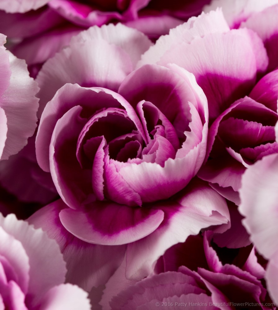 Spray Carnations Beautiful Flower Pictures Blog