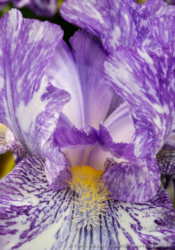 Purple Streaker Iris © 2013 Patty Hankins