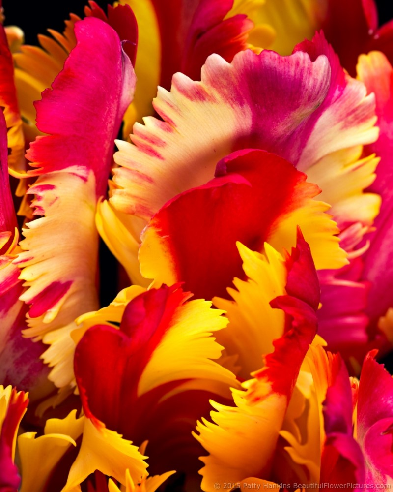 Petals of a Flaming Parrot Tulip © 2015 Patty Hankins
