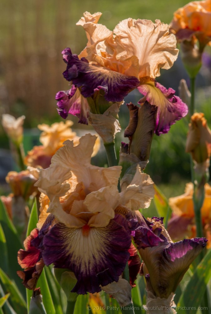 Shades Of Orange Irises Beautiful Flower Pictures Blog
