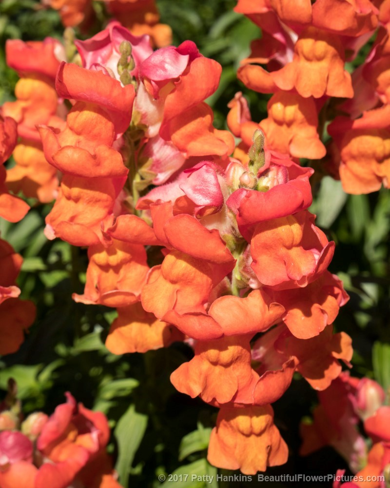 Snapdragons © 2017 Patty Hankins
