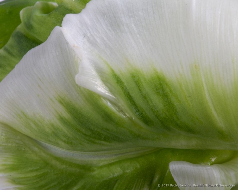 Green & White Tulip © 2017 Patty Hankins