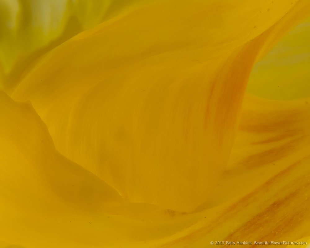 Yellow Tulip © 2017 Patty Hankins