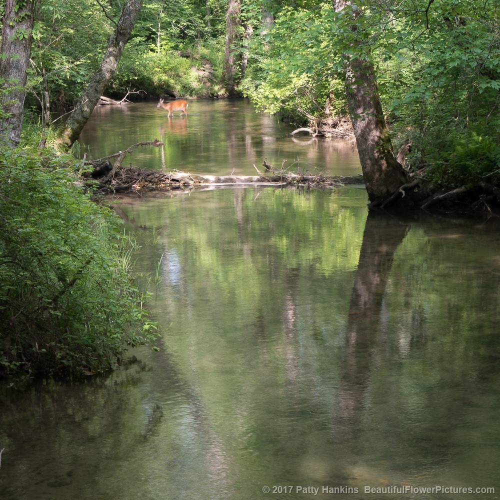 Deer in the Creek © 2017 Patty Hankins