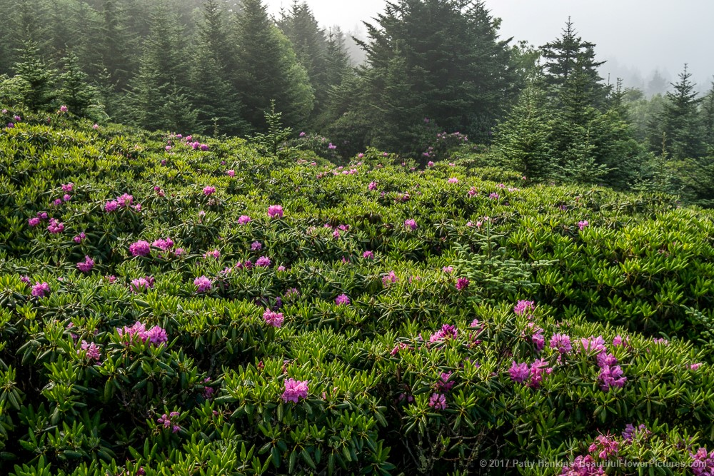 Rhododendron at Roan Mountain © 2017 Patty Hankins