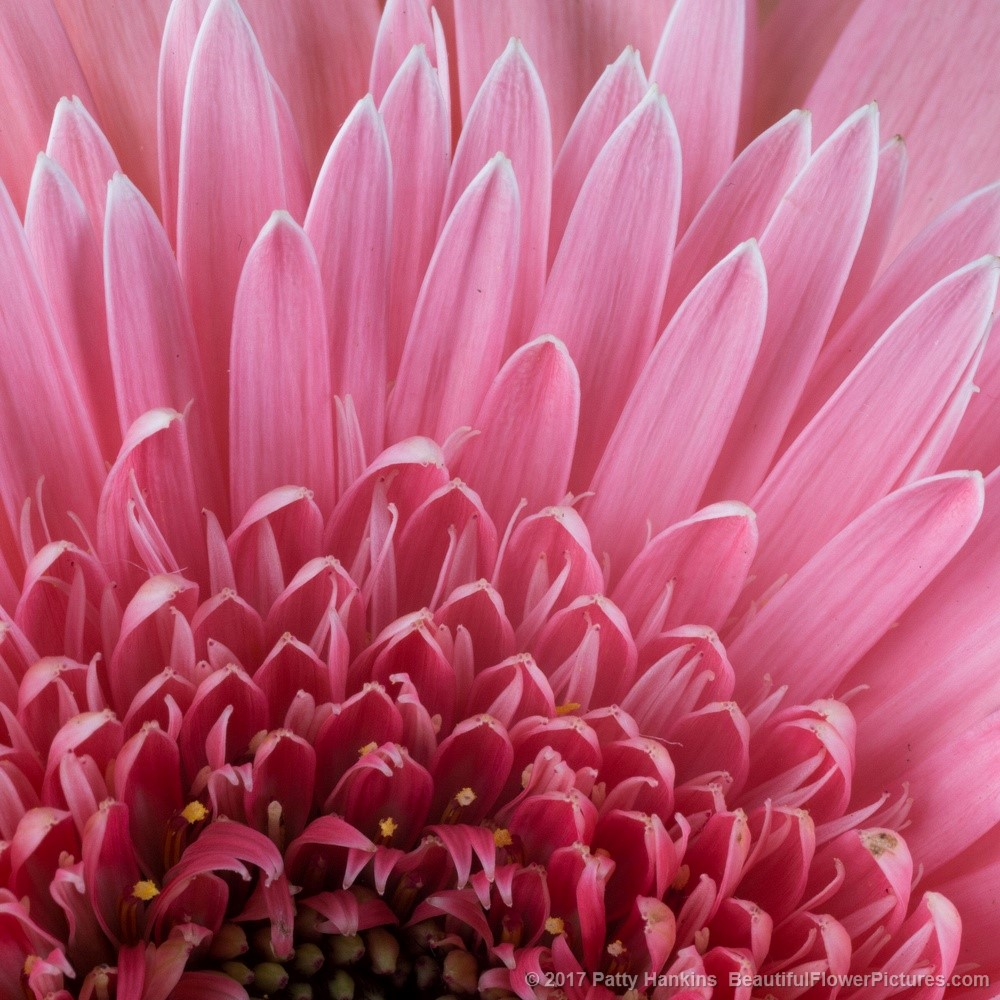 Light Pink Gerbera Daisy © 2017 Patty Hankins