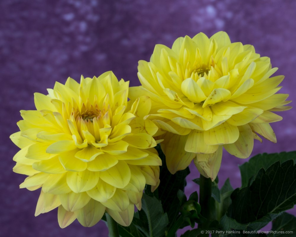 Yellow Dahlias © 2017 Patty Hankins