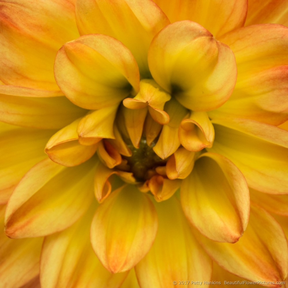 Yellow & Red Dahlia © 2017 Patty Hnakins