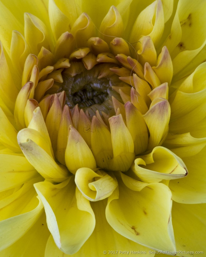 Yellow Dahlia © 2017 Patty Hankins