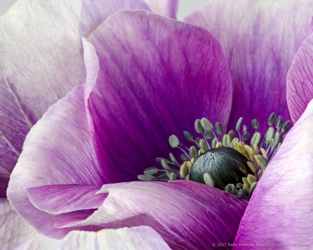 Purple Poppy Anemone © 2017 Patty Hankins