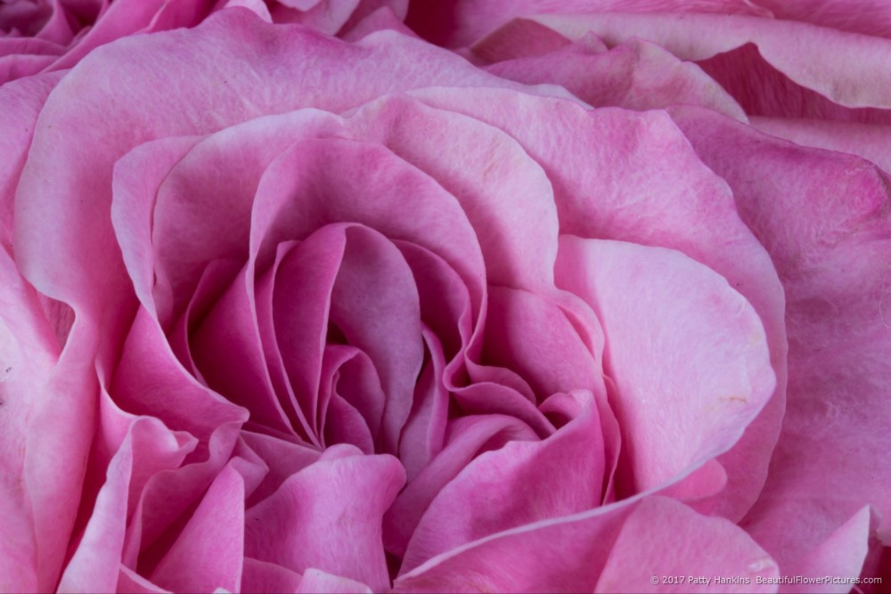 Art Deco Roses – In The Studio :: Beautiful Flower Pictures Blog