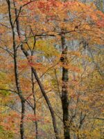 Fall Color, Great Smoky Mountains National Park © 2017 Patty Hankins