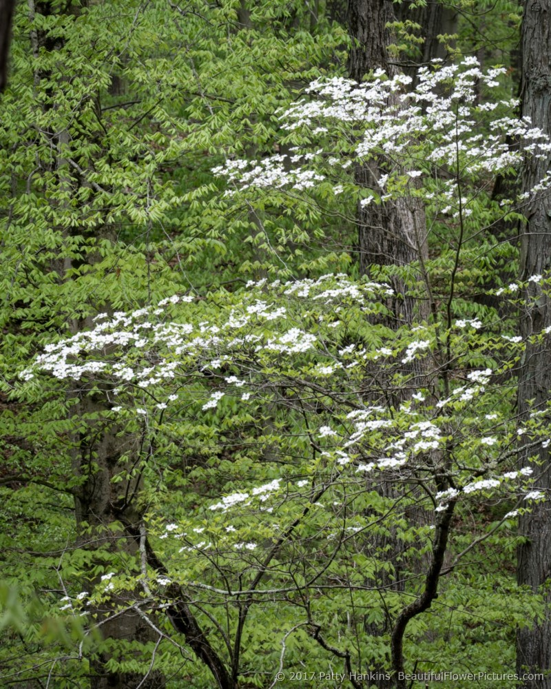 Dogwood in the Woods © 2017 Patty Hankins