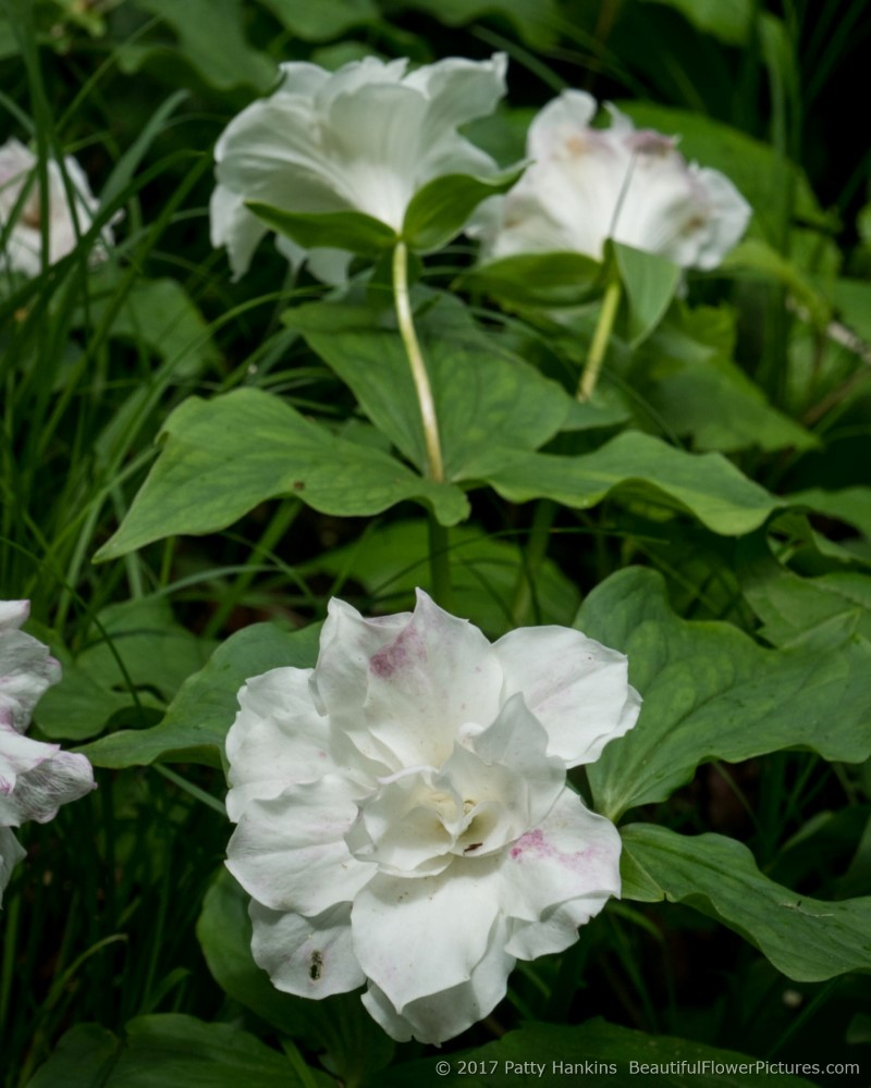 Smith's Double Trillium © 2017 Patty Hankins